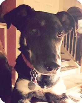 Husky/Shepherd (Unknown Type) Mix Dog for adoption in CUMMING, Georgia - Zoey