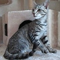 Adopt A Pet :: Bogie - San Bernardino, CA