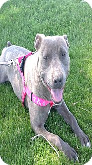 American Staffordshire Terrier/American Pit Bull Terrier Mix Dog for adoption in Kirkland, Washington - Hazelnut - Wiggly Rolly Polly!