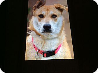 German Shepherd Dog Mix Puppy for adoption in Los Angeles, California - BELLA VON MAYSIE