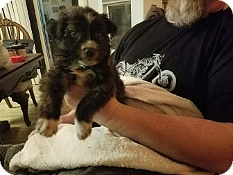 Australian Shepherd/Collie Mix Puppy for adoption in Hainesville, Illinois - Raven