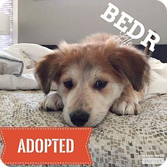 Mastiff/St. Bernard Mix Puppy for adoption in Regina, Saskatchewan - Lizzie
