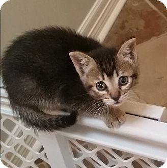Domestic Shorthair Kitten for adoption in Houston, Texas - Henriette