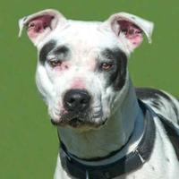 Adopt A Pet :: Maci *Trainee* - Glen Allen, VA