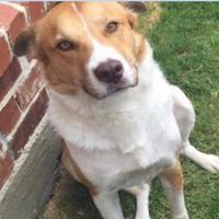 Adopt A Pet :: Jordan - justin, TX