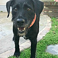 Adopt A Pet :: Jack is very devoted! - Redondo Beach, CA