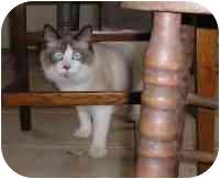 Himalayan Cat for adoption in Rockville, Maryland - Lorenzo