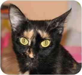 Domestic Shorthair Cat for adoption in Vineland, New Jersey - Carmel