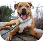 Labrador Retriever/American Pit Bull Terrier Mix Dog for adoption in Seattle, Washington - Rippley
