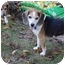 Photo 2 - Beagle Dog for adoption in Waldorf, Maryland - Zachary James