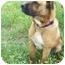 Photo 2 - Boxer/Mastiff Mix Dog for adoption in Kaufman, Texas - Kirby