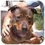 Photo 1 - Rottweiler/German Shepherd Dog Mix Dog for adoption in Berkeley, California - Rufus