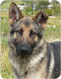 German Shepherd Dog Dog for adoption in Los Angeles, California - Beowulf von Gardiner