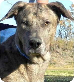 Great Dane/Irish Wolfhound Mix Dog for adoption in Wakefield, Rhode Island - HERCULES**IN NH**(GENTLE GIANT