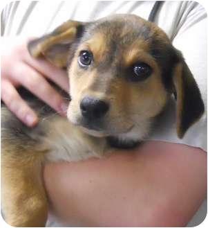 Shepherd (Unknown Type) Mix Puppy for adoption in Belvidere, Illinois - Marilla