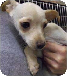 Poodle (Toy or Tea Cup)/Chihuahua Mix Puppy for adoption in Shawnee Mission, Kansas - Poodle Mix Puppy #5