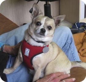 Chihuahua Mix Dog for adoption in Sonoma, California - Timmy
