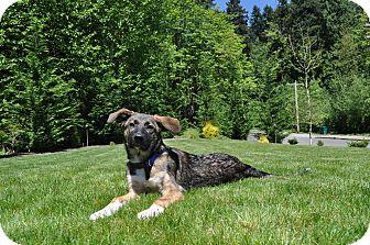 German Shepherd Dog/Retriever (Unknown Type) Mix Puppy for adoption in Redmond, Washington - Chili