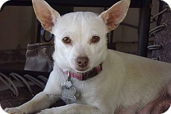 Chihuahua Dog for adoption in Phoenix, Arizona - Bianca