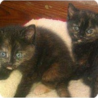 Adopt A Pet :: The Tortie Sisters - Quincy, MA