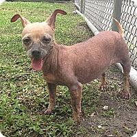 Adopt A Pet :: Sugar - St. Petersburg, FL