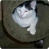Adopt A Pet :: Mittens - Newburgh, NY