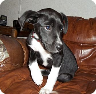 Retriever (Unknown Type) Mix Puppy for adoption in Greensboro, Maryland - Tebow