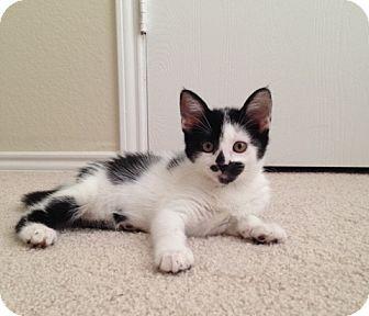 Domestic Shorthair Kitten for adoption in Plano, Texas - OREO - SWEET & FUNNY KITTEN!