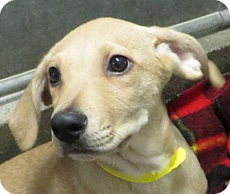 Labrador Retriever Mix Puppy for adoption in Middletown, New York - Nellie