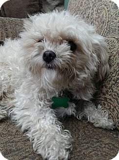Maltese/Poodle (Toy or Tea Cup) Mix Puppy for adoption in Thousand Oaks, California - Tank