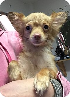 Chihuahua/Terrier (Unknown Type, Small) Mix Dog for adoption in Encino, California - Annie - Hoarding dog