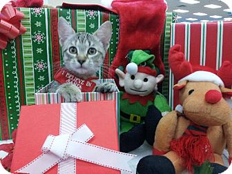 Abyssinian Kitten for adoption in Satellite Beach, Florida - Cupid