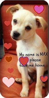 Chihuahua/Terrier (Unknown Type, Small) Mix Puppy for adoption in Topanga, California - Max