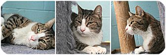 Domestic Shorthair Cat for adoption in Forked River, New Jersey - Austin