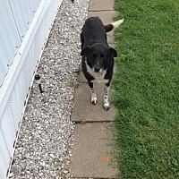 Border Collie Dog for adoption in Highland, Illinois - Baxter (Courtesy Listing from Payneville, KY)