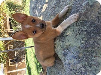 Australian Shepherd/Shepherd (Unknown Type) Mix Puppy for adoption in Studio City, California - Clay