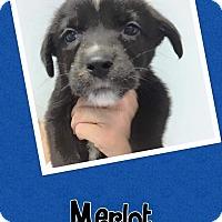 Adopt A Pet :: Merlot - Scottsdale, AZ