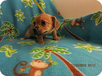Chihuahua/Dachshund Mix Puppy for adoption in Sunset Hills, Missouri - Alphie