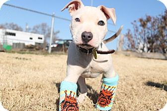 American Pit Bull Terrier Puppy for adoption in Sacramento, California - Niki