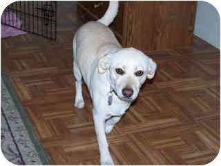Terrier (Unknown Type, Small)/Labrador Retriever Mix Dog for adoption in Scottsdale, Arizona - Sandy