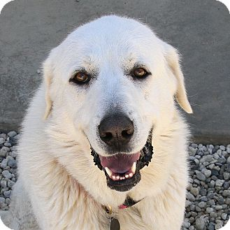 Great Pyrenees/Labrador Retriever Mix Dog for adoption in Granite Bay, California - LILLEY