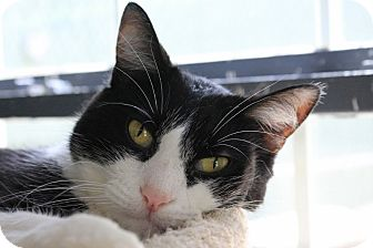 Domestic Shorthair Cat for adoption in Martinsville, Indiana - Artichoke