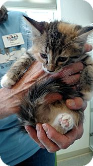 Domestic Mediumhair Cat for adoption in Divide, Colorado - Nisha