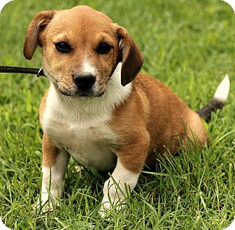 Corgi/Jack Russell Terrier Mix Puppy for adoption in Harrisonburg, Virginia - Lucas
