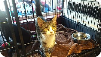 Domestic Shorthair Kitten for adoption in Exton, Pennsylvania - Dewy (Foster)