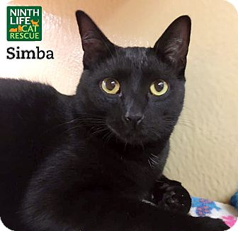 Domestic Shorthair Cat for adoption in Oakville, Ontario - Simba