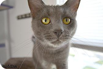 Domestic Shorthair Cat for adoption in Cincinnati, Ohio - Buddha