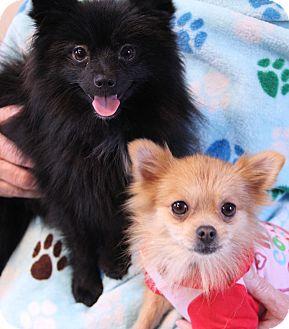 Pomeranian Dog for adoption in O Fallon, Illinois - Archie & Edith