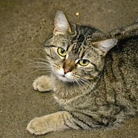 Domestic Shorthair Cat for adoption in Akron, Ohio - Strawberry Fields