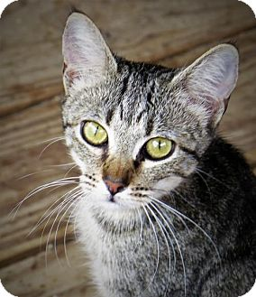Domestic Shorthair Cat for adoption in Gonzales, Texas - Raisin